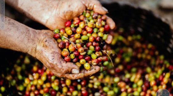 שינוי האקלים יחסל לנו את הקפה